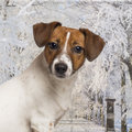Close-up Of A Jack Russel In A Winter Scenery Stock Photo - 37852910