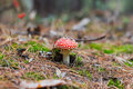Fly-agaric In Forest (Amanita Poisonous Mushroom) Royalty Free Stock Photography - 37859477