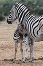 Baby Zebra And Mother Stock Images - 37878634