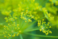 Dill Flowers Stock Image - 37884991