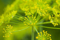 Dill Flowers Royalty Free Stock Photos - 37884998