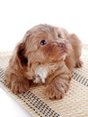 Puppy On A Rug Royalty Free Stock Photography - 37911797