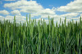 Green Wheat Field Royalty Free Stock Photos - 37946838