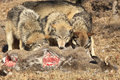 Three Wolves Feeding On Deer Carcass Royalty Free Stock Image - 37949196
