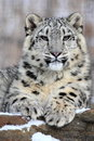 Snow Leopard Royalty Free Stock Photo - 37954505