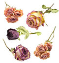 Set Of Dry Roses Royalty Free Stock Photo - 37986755