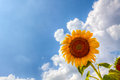 Sun Flower Royalty Free Stock Photos - 37989468