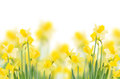 Spring Growing Daffodils Royalty Free Stock Images - 38056899