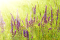 Violet  Meadow Flower Royalty Free Stock Photo - 38082925