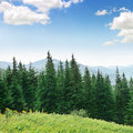 Beautiful Pine Trees Royalty Free Stock Photography - 38097587