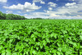 Soybean Field Royalty Free Stock Photography - 38140447