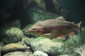 Rainbow Trout Royalty Free Stock Images - 38143129