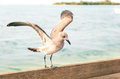 Seagull Landing On A Wooden Fence At Key West Pier - Miami Flori Royalty Free Stock Photo - 38149885