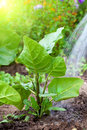 Watering The Tobacco-plant Stock Images - 38155684