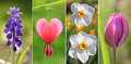 Collage -  Spring Flowers, With Bleeding Heart, Tulip, Muscari A Stock Photo - 38167730