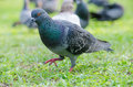 Pigeon Royalty Free Stock Images - 38192829