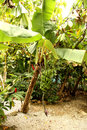 Banana Tree Stock Photography - 38205312
