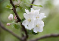 Spring Apple Tree Blossom Flower Royalty Free Stock Images - 38209989