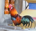 Beautiful Rooster Royalty Free Stock Photos - 38218098