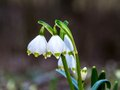 Early Spring Snowflake Flower Royalty Free Stock Photography - 38219717