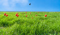 Green Field With Flowering  Tulips Against The Blue Of The Sky W Royalty Free Stock Photo - 38258845