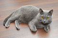 British Shorthair Cat Royalty Free Stock Images - 38290389