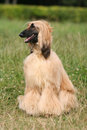 Afghan Hound Royalty Free Stock Images - 3834149