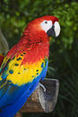 Scarlet Macaw Royalty Free Stock Image - 3836506