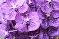 Close Up Of Purple Orchid Royalty Free Stock Photography - 38322767