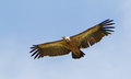 Griffon Vulture Stock Photos - 38329473