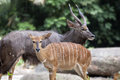 Nyala Male And Female Pair Stock Photography - 38334152