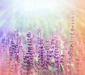 Meadow (purple) Flowers Illuminated By Sunlight Royalty Free Stock Photo - 38347595
