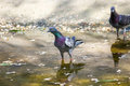 Pigeons Drinking Water Stock Images - 38359484