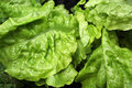 Young Juicy Lettuce Leaf Stock Image - 38365571