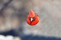 Northern Cardinal Stock Photos - 38366303