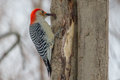 Red-bellied Woodpecker Royalty Free Stock Images - 38389759