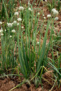 Onion Plant Royalty Free Stock Photo - 38390735
