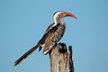 Red-billed Hornbill Royalty Free Stock Photo - 38394595