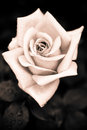 Grungy Pink Rose With Water Drops At Vintage Gothic Style Backgr Royalty Free Stock Photo - 38395125