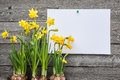 Message And Spring Daffodils Stock Photo - 38406340