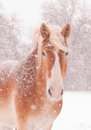 Belgian Draft Horse In A Blizzard Stock Images - 38417164