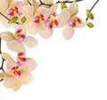 White And Violet Orchid Royalty Free Stock Photo - 38425635