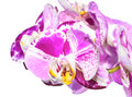 Unusual White With Purple  Flowers Of Orchid,   Phalaenopsis Royalty Free Stock Photos - 38430888