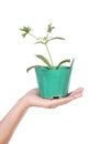 Hand With Young Seedlings Of Parsley In Small Pot Stock Images - 38453524