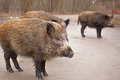 Wild Boars Stock Images - 38457584