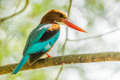 White-throated Kingfisher Stock Photos - 38462443