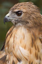 Red-tailed Hawk Portrait Stock Photography - 3859372