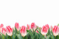 Spring Tulips Flowers In Green Grass Royalty Free Stock Image - 38513076