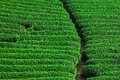 Beautiful Fresh Green Tea Plantation Royalty Free Stock Image - 38521756