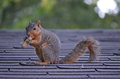 Squirrel With A Nut Royalty Free Stock Photography - 38539827